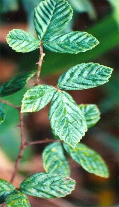 himalayanblackberry2