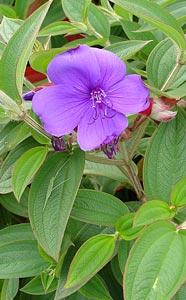 Glory bush has showy, purple flowers with 5 petals.(Photo: Forest & Kjm Starr)