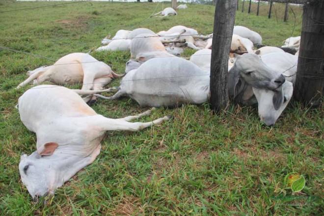O proprietário perdeu 31 animais, entre vacas leiteiras, bezerros e bois. O prejuízo pode passar de R$ 27 mil reais - Foto: Alexandre Lima
