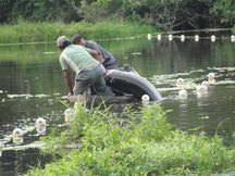 Com manejo, o pirarucu é pescado com arpão em Feijó, no Acre Divulgação/WWF Brasil