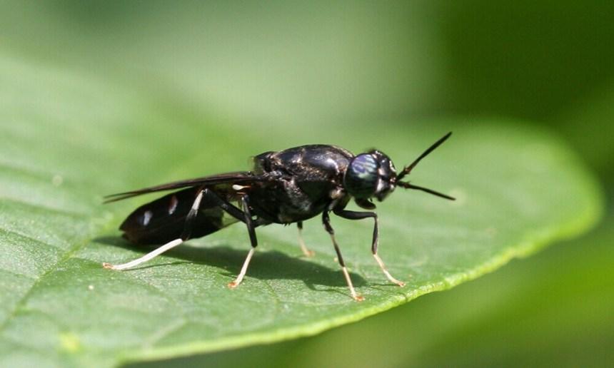 黑水虻在友善農耕上的開發與應用