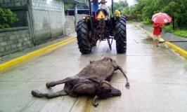 Presentan denuncia contra Pemex por muerte de reses