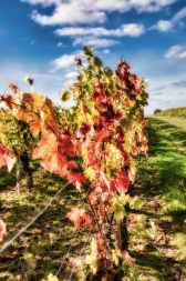 brissac quincé la foret et les vignes_JFP58851-1