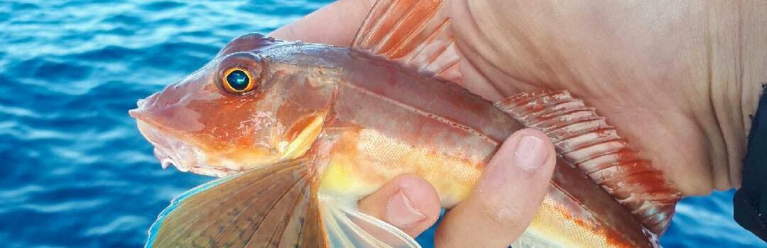 rouget pêche