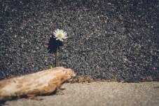 Gänseblümchen an Wand hinter Holz