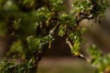 Stachelbeerbaum