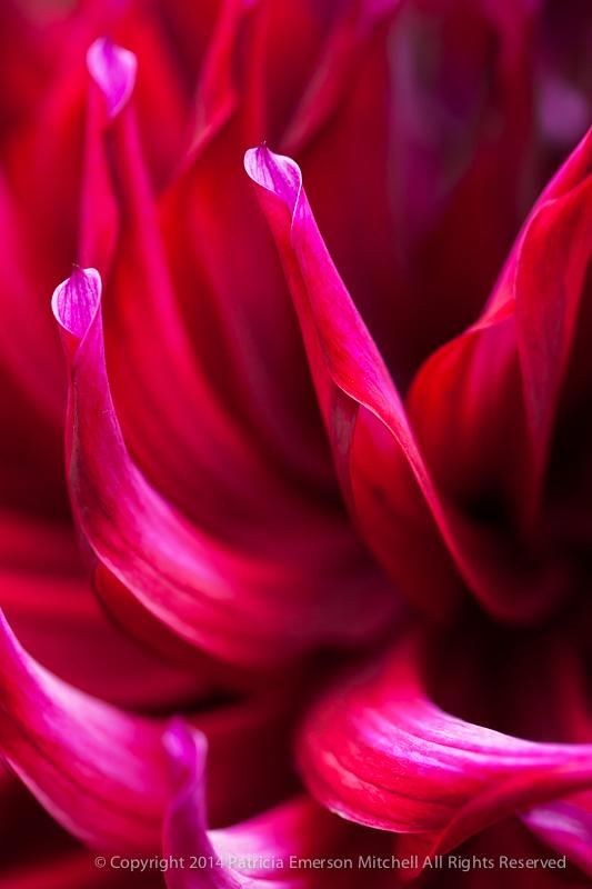 MCBG-_Bright_Pink_Dahlia_Petals_(I),_7.21.14