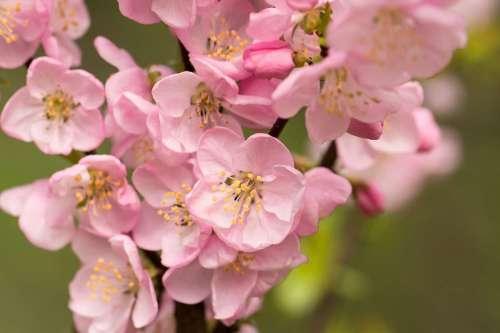 Розовая вишня, фотопанно, фотобои, фотопанно ВАШ ВЕК