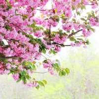 Сад с сакурой