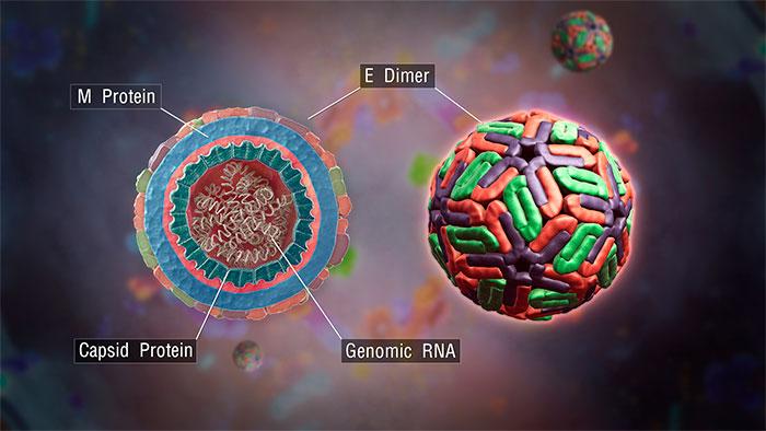 Biólogos ja sabem como o vírus da dengue se torna mortal.
