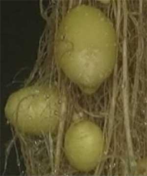 Cientistas do Peru produzem batatas penduradas no ar