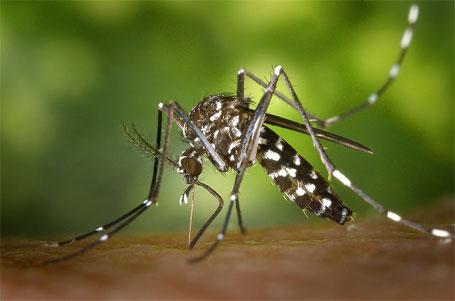 Foto do mosquito da dengue