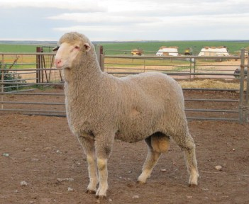 150712 SHEEP