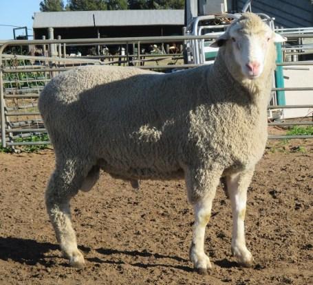 OBDM 150029 sheep