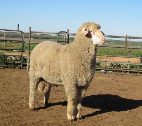 OBDM 150120 sheep