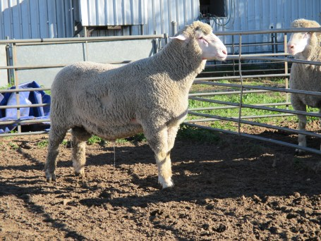 OBDM 150159 sheep
