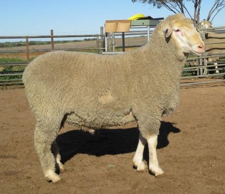 OBDM 150187 sheep