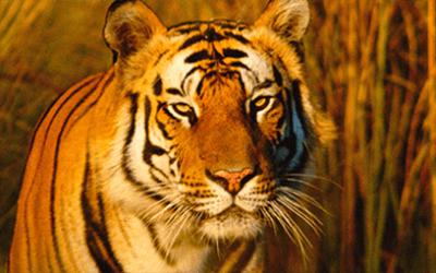 Actie red de tijger