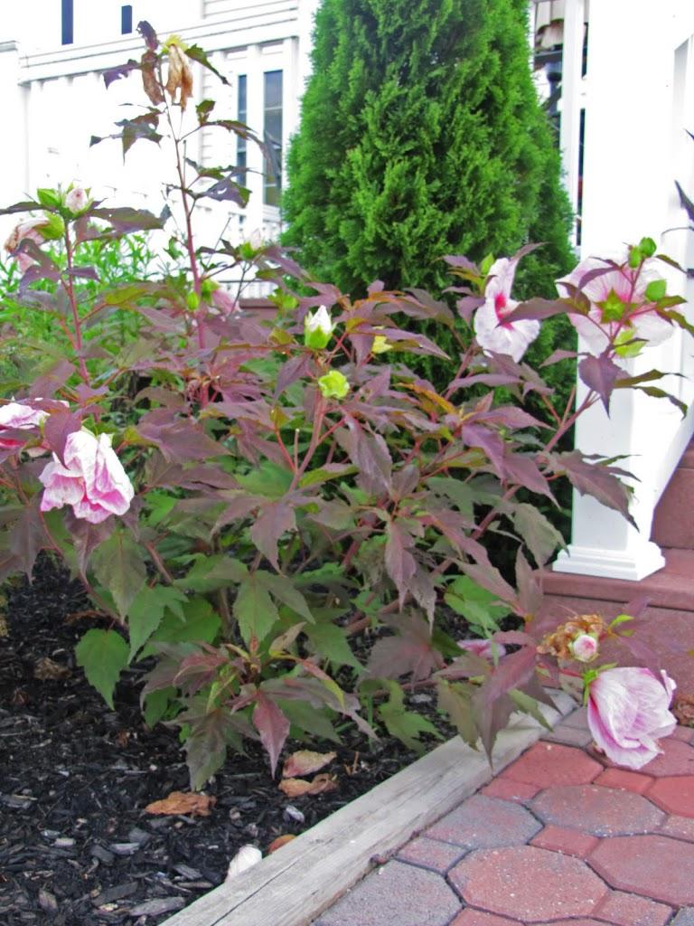 hibiscus 39 kopper king 39 the obsessive neurotic gardener. Black Bedroom Furniture Sets. Home Design Ideas