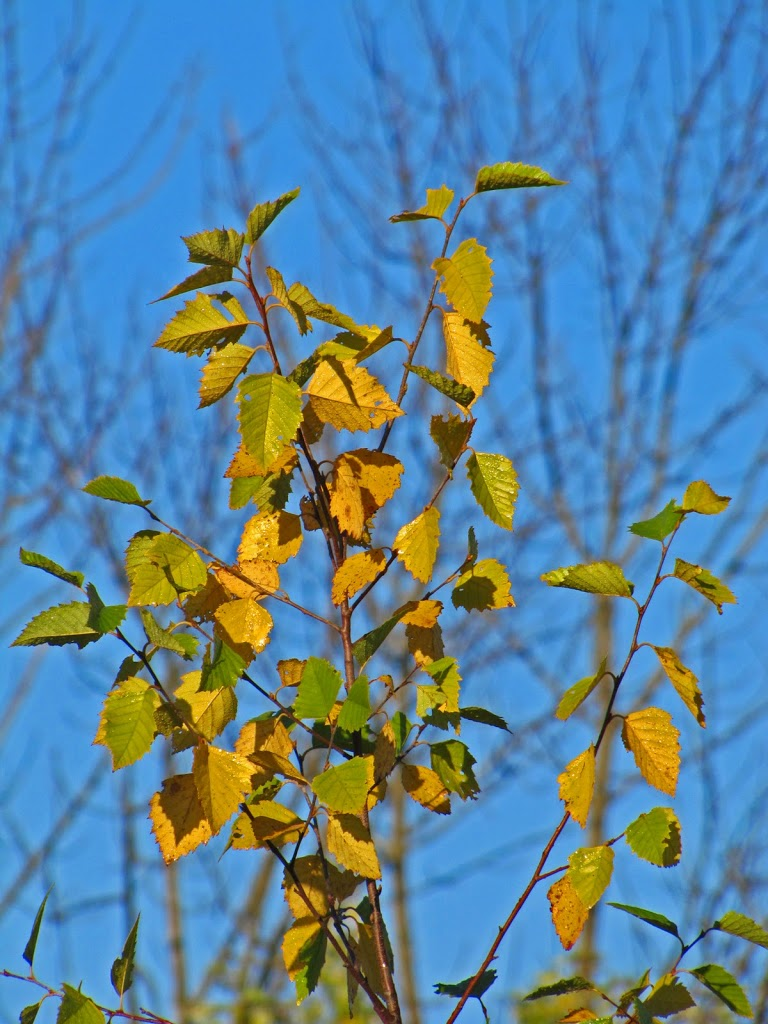 birch river middle eastern singles In landscapes it may be grown as a single  betula papyrifera  birch leaf miner is a common insect pest of birch a small white worm eats out the middle.