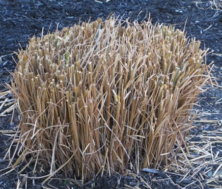 When To Cut Ornamental Grasses Time to cut back the ornamental grasses the obsessive neurotic time to cut back the ornamental grasses workwithnaturefo