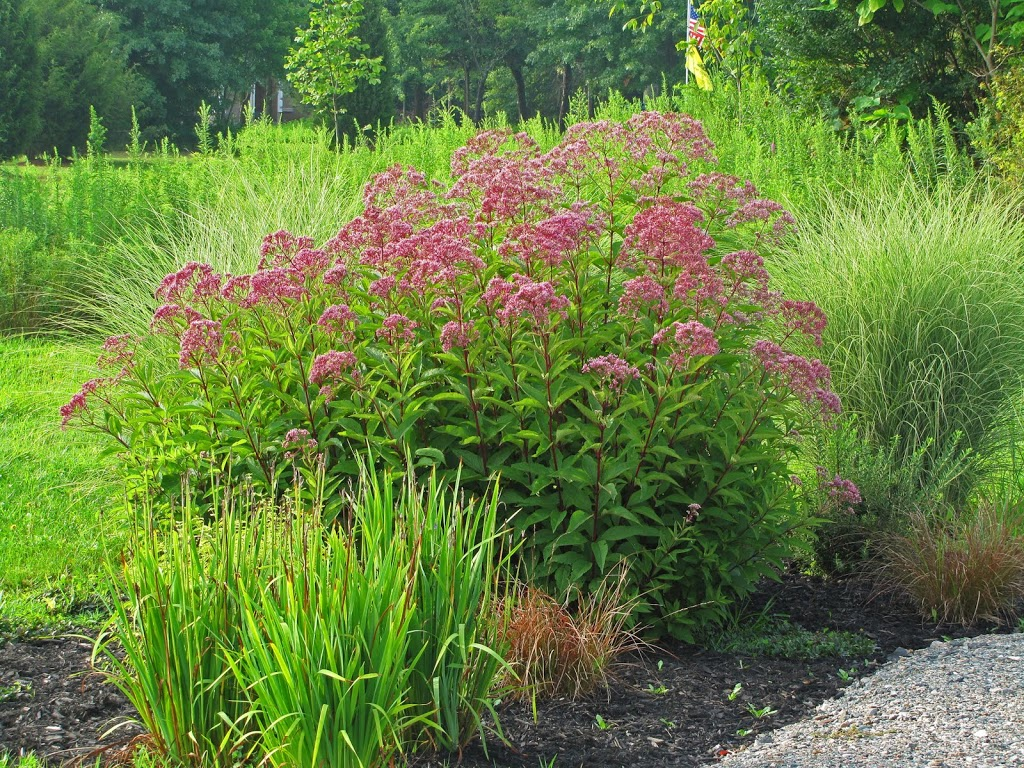 Quot Prune In June Quot Joe Pye Weed The Obsessive Neurotic