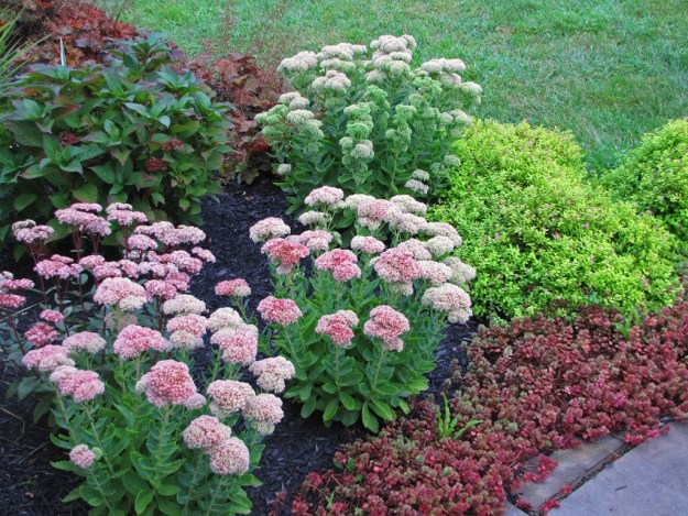 Sedum autumn fire archives the obsessive neurotic gardener obviously the pinched sedum is behind the other two in terms of bloom time and that was expected you can see that better in the photo below pinched altavistaventures Images