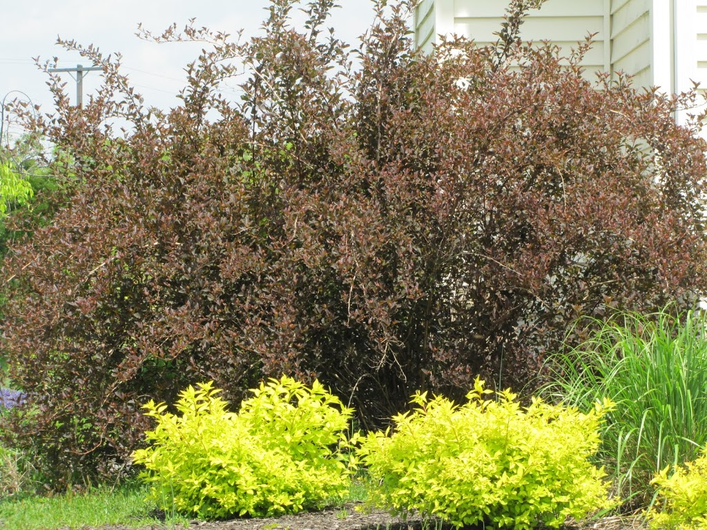Spirea Are Ugly And A Big Haircut For My Ninebark The
