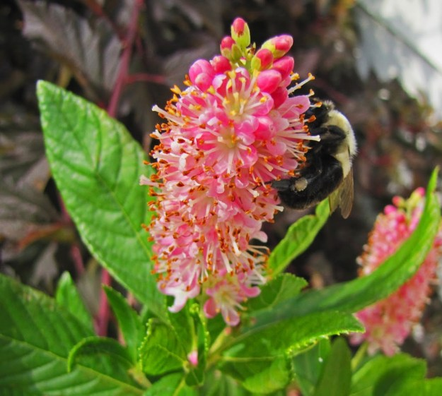 clethra ruby spice bloom