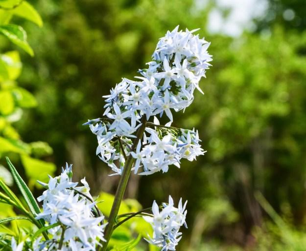 amsonia blooms