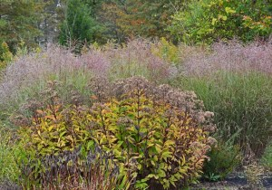 joe-pye-weed-fall-color