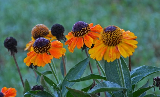 sneezeweed-knee-high