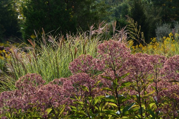 joe pye and miscanthus