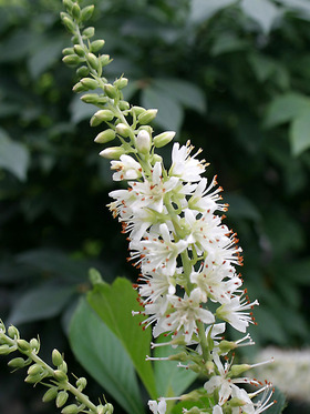 clethra sugartina