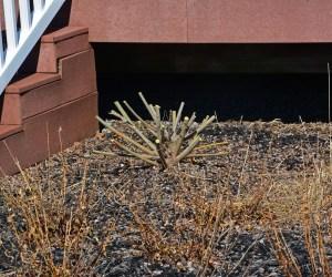 pruning salix 6