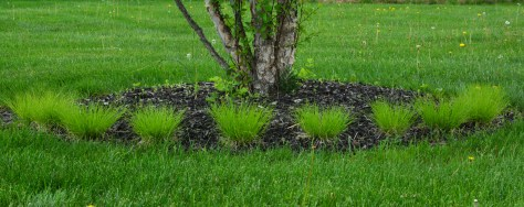 carex under tree