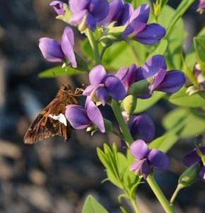 moth baptisia