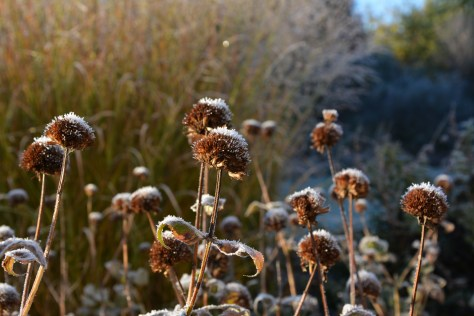 bee balm frost
