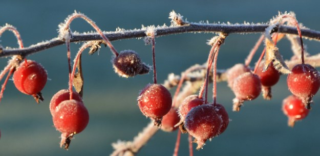 crabapple frost photos