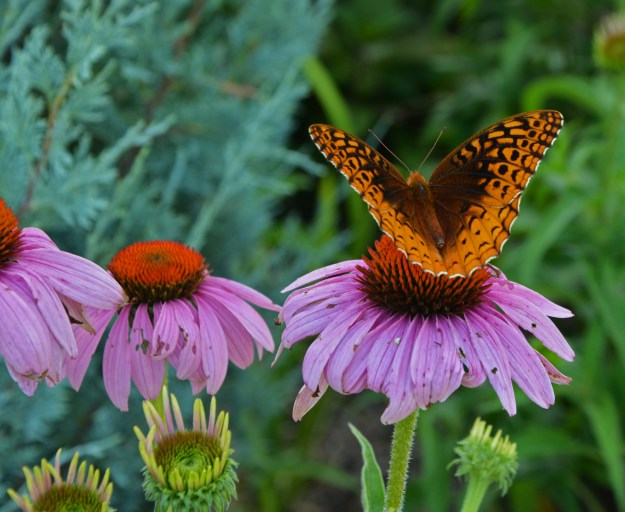 butterfly coneflower