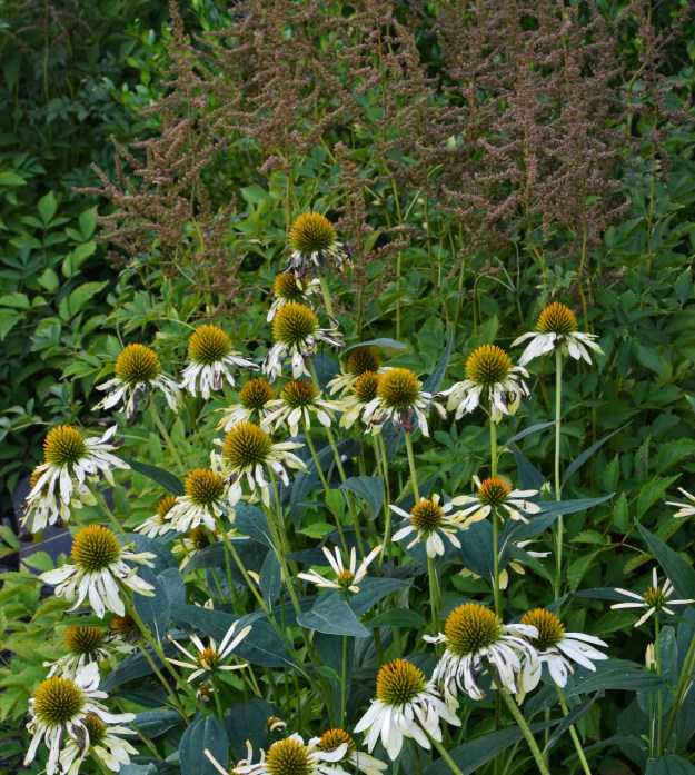 astilbe coneflower spent