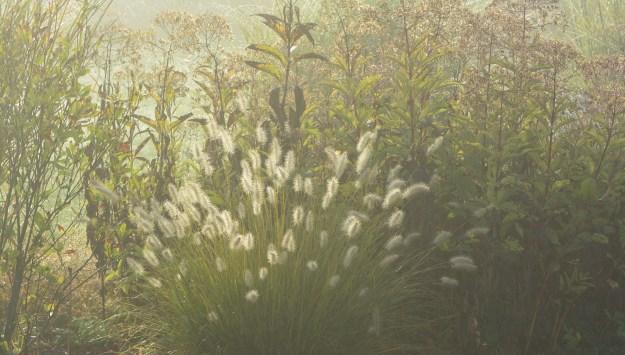 driveway-bed-fog-pennisetum