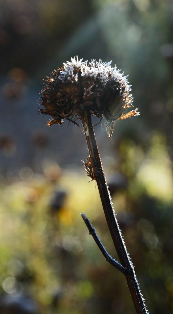 frozen-seedhead