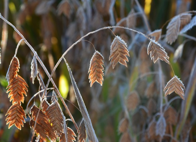 northern-sea-oats-frozen