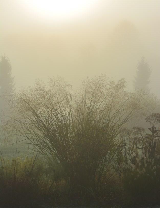panicum-fog