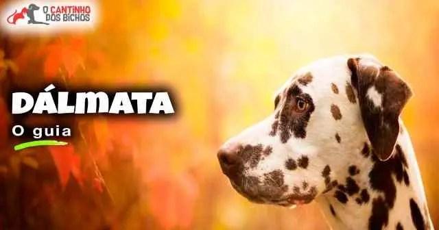 Cachorro Dálmata em destaque
