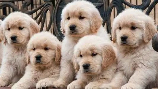 Filhotes fofos de Golden Retriever