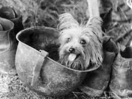 História do Yorkshire Terrier