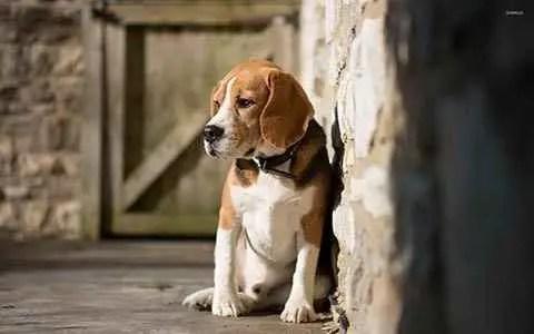 Beagle no celeiro