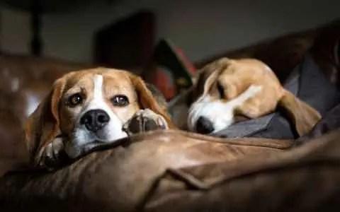 Beagles deitados no sofá